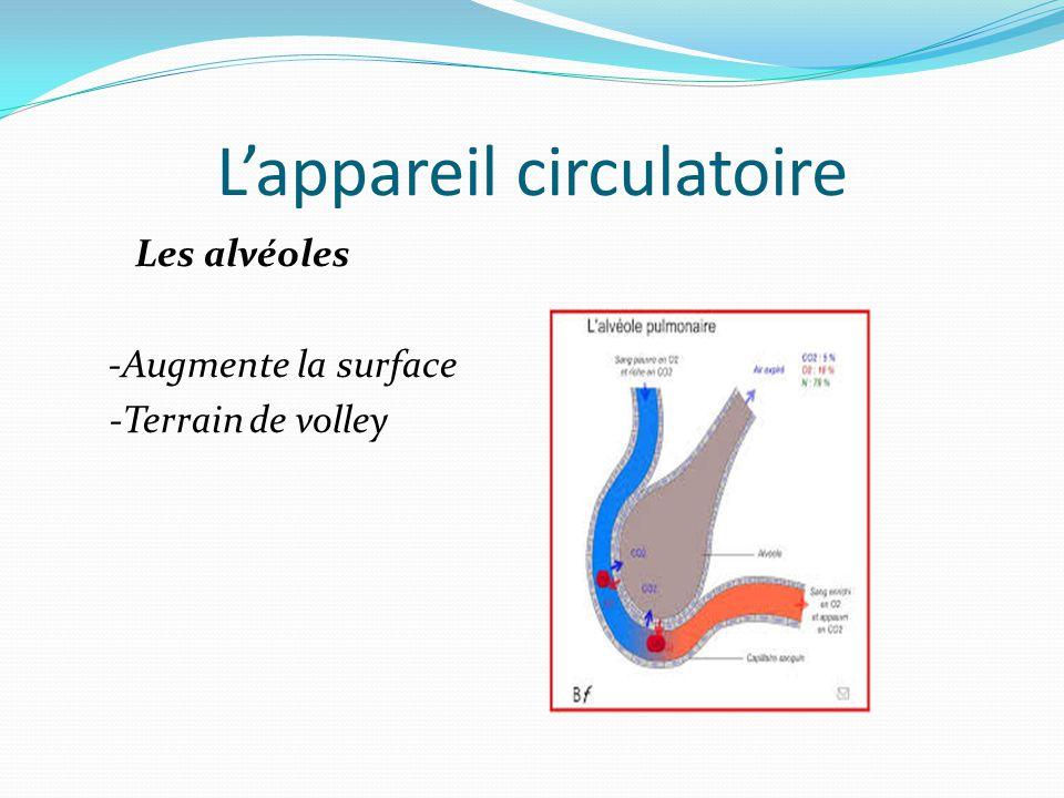L'appareil circulatoire Les alvéoles -Augmente la surface -Terrain de volley