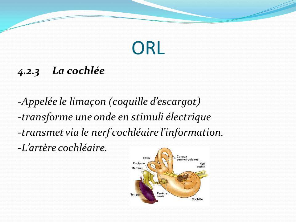 ORL 4.2.3 La cochlée -Appelée le limaçon (coquille d'escargot) -transforme une onde en stimuli électrique -transmet via le nerf cochléaire l'information.