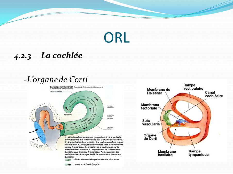 ORL 4.2.3 La cochlée -L'organe de Corti