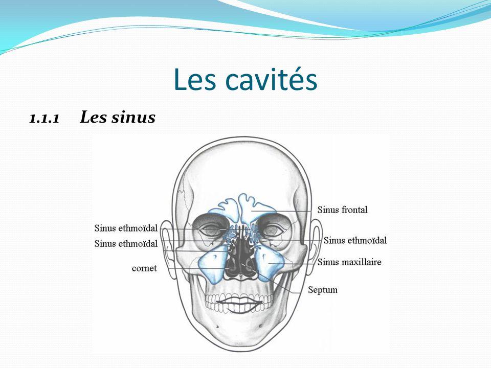 Les cavités 1.1.1 Les sinus
