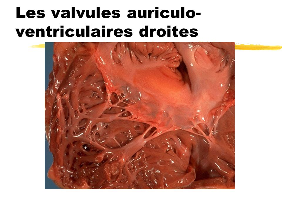 Les valvules auriculo- ventriculaires droites