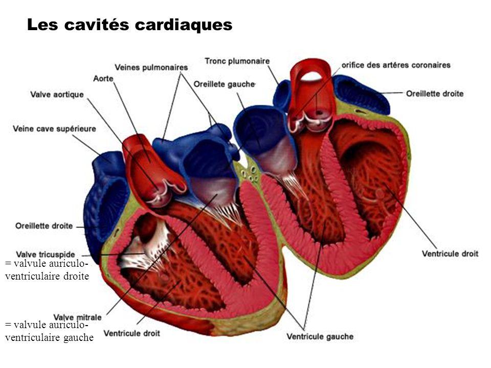 Les cavités cardiaques = valvule auriculo- ventriculaire droite = valvule auriculo- ventriculaire gauche