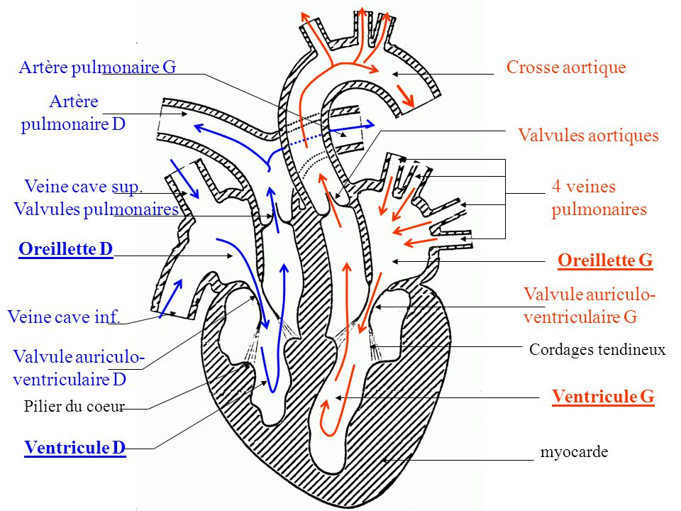 4 veines pulmonaires Oreillette G Valvule auriculo- ventriculaire G Cordages tendineux Ventricule G myocarde Valvules aortiques Crosse aortique Veine cave sup.