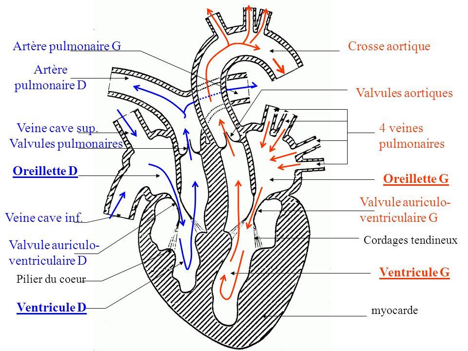 4 veines pulmonaires Oreillette G Valvule auriculo- ventriculaire G Cordages tendineux Ventricule G myocarde Valvules aortiques Crosse aortique Veine