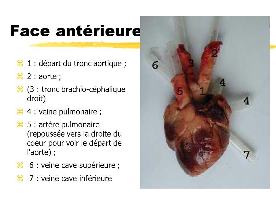 Face antérieure z1 : départ du tronc aortique ; z2 : aorte ; z(3 : tronc brachio-céphalique droit) z4 : veine pulmonaire ; z5 : artère pulmonaire (rep