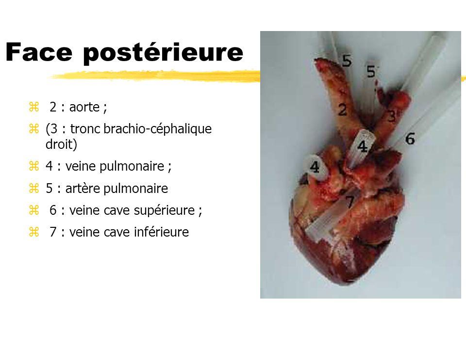 Face postérieure z 2 : aorte ; z(3 : tronc brachio-céphalique droit) z4 : veine pulmonaire ; z5 : artère pulmonaire z 6 : veine cave supérieure ; z 7