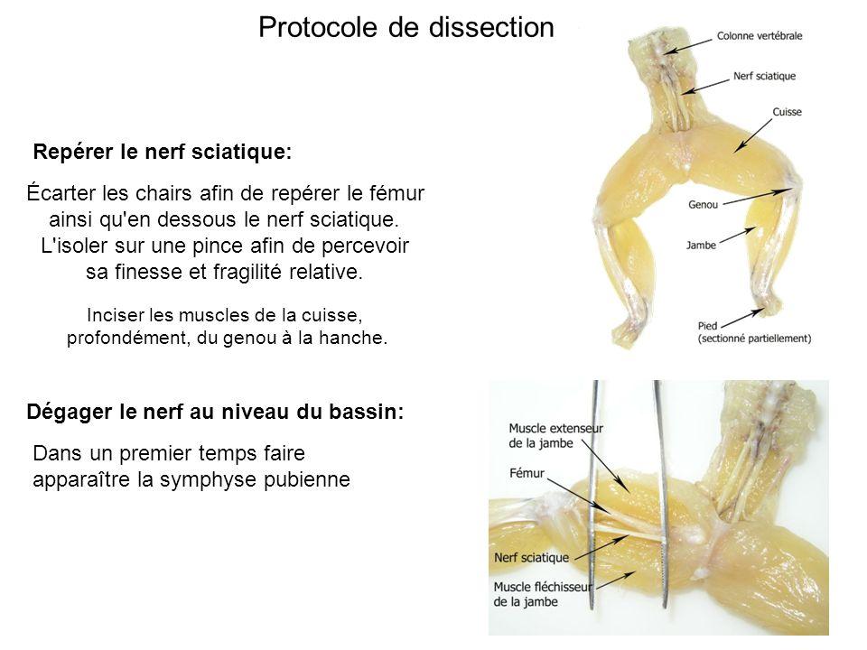 Protocole de dissection Repérer le nerf sciatique: Écarter les chairs afin de repérer le fémur ainsi qu en dessous le nerf sciatique.