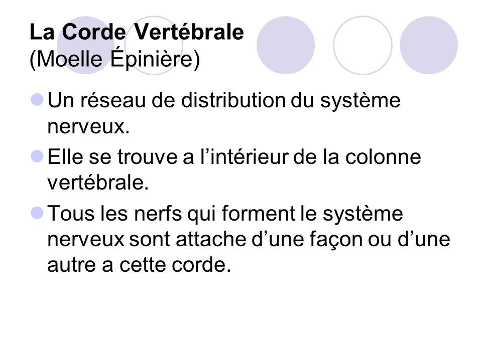 La Corde Vertébrale (Moelle Épinière) Un réseau de distribution du système nerveux.