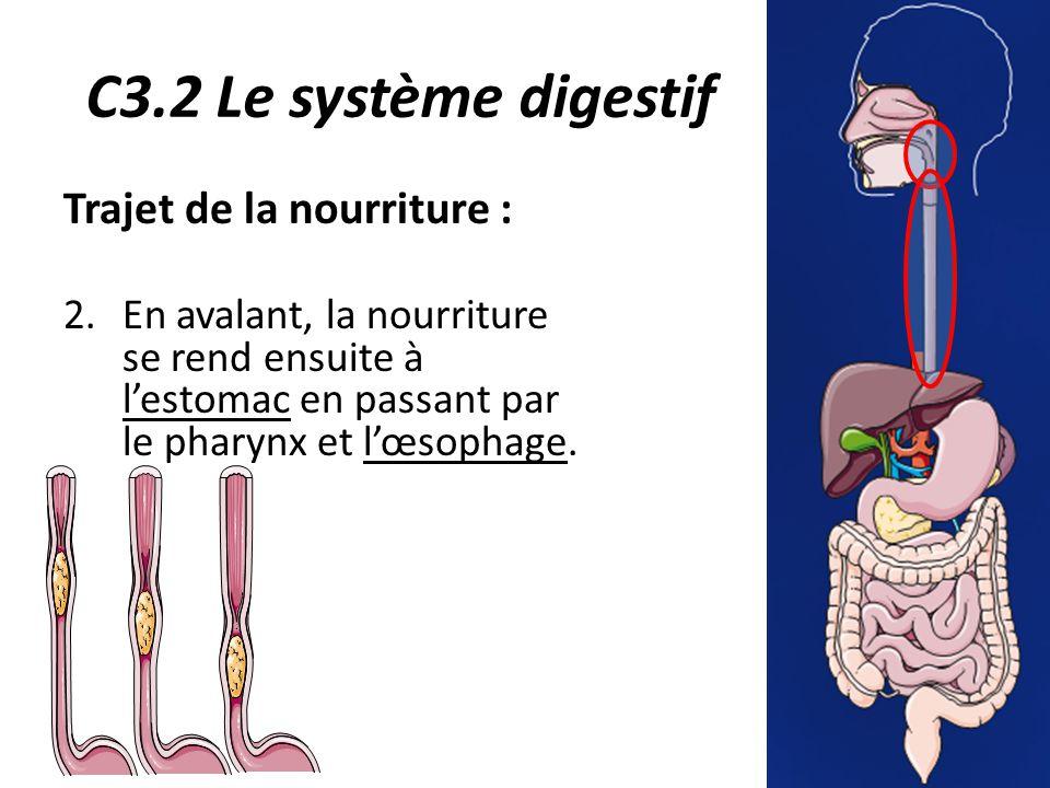 C3.2 Le système digestif Trajet de la nourriture : 2.En avalant, la nourriture se rend ensuite à l'estomac en passant par le pharynx et l'œsophage.