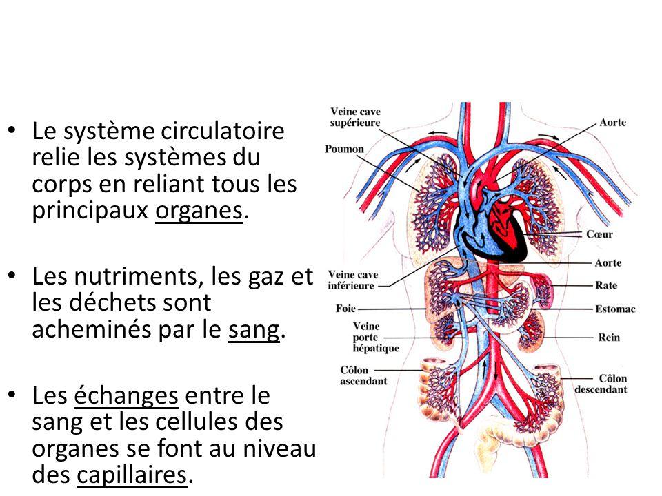 Le système circulatoire relie les systèmes du corps en reliant tous les principaux organes.
