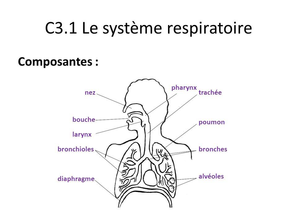 C3.1 Le système respiratoire Composantes : nez bouche pharynx larynx trachée poumon bronches alvéoles bronchioles diaphragme