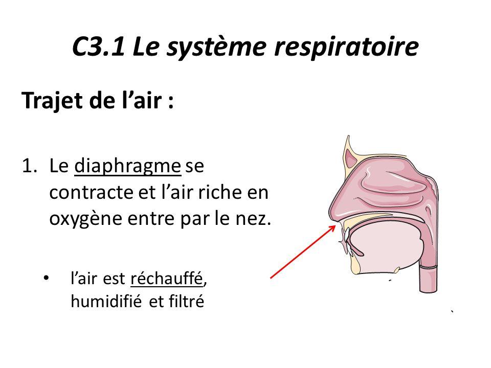 C3.1 Le système respiratoire Trajet de l'air : 1.Le diaphragme se contracte et l'air riche en oxygène entre par le nez.