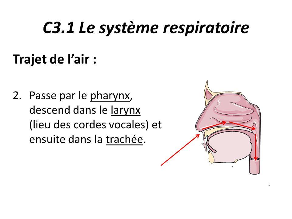 C3.1 Le système respiratoire Trajet de l'air : 2.Passe par le pharynx, descend dans le larynx (lieu des cordes vocales) et ensuite dans la trachée.