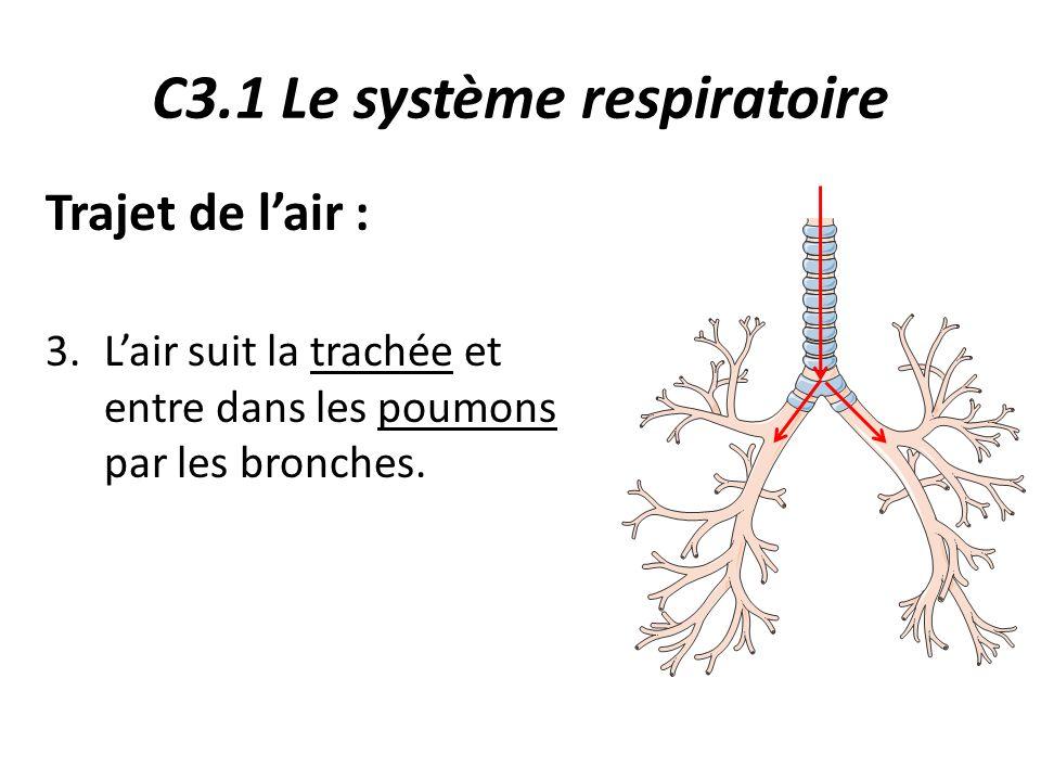 C3.1 Le système respiratoire Trajet de l'air : 3.L'air suit la trachée et entre dans les poumons par les bronches.