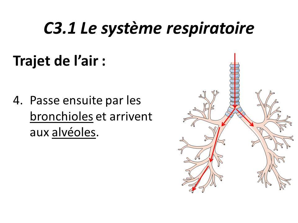 C3.1 Le système respiratoire Trajet de l'air : 4.Passe ensuite par les bronchioles et arrivent aux alvéoles.