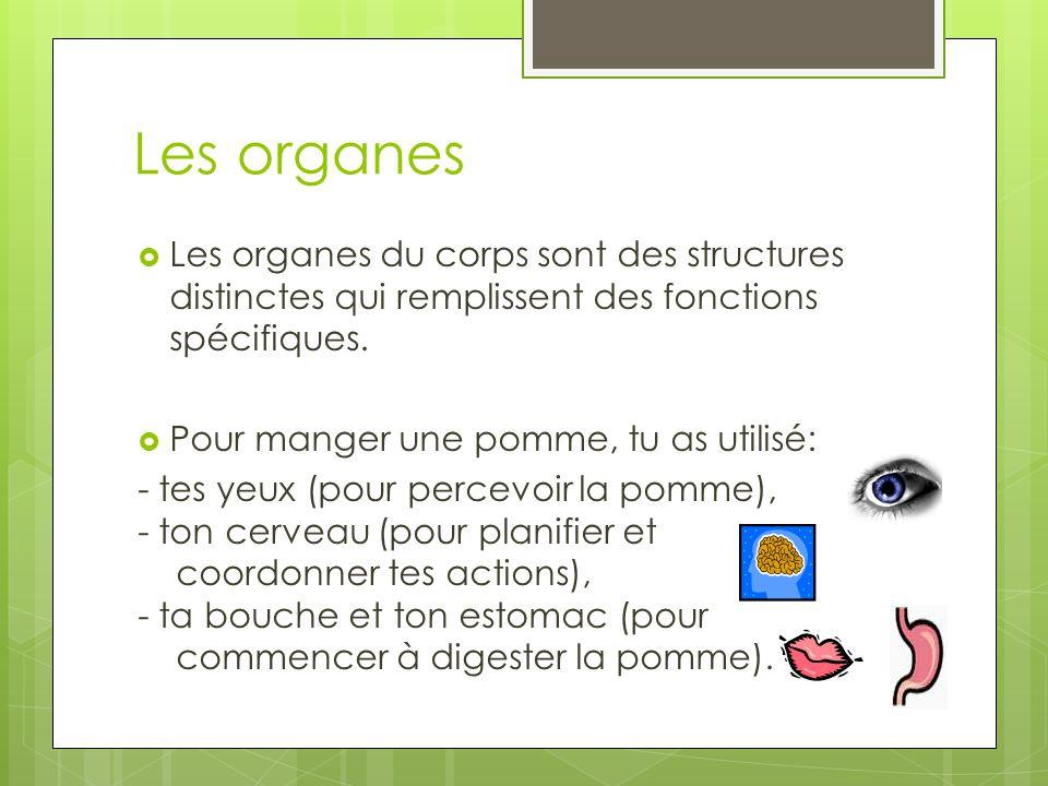 Les organes  Les organes du corps sont des structures distinctes qui remplissent des fonctions spécifiques.