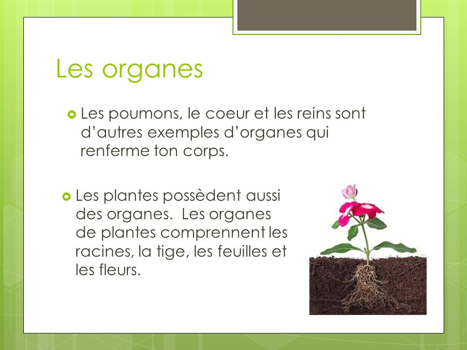 Les organes  Les plantes possèdent aussi des organes.