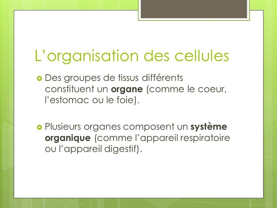 L'organisation des cellules  Des groupes de tissus différents constituent un organe (comme le coeur, l'estomac ou le foie).