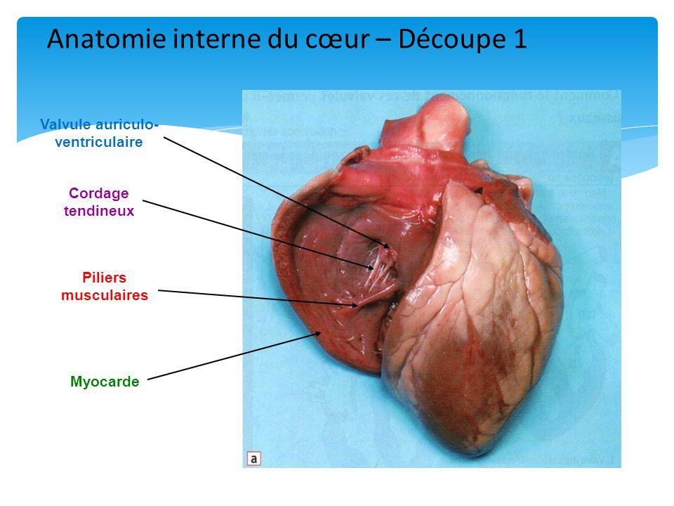 Cordage tendineux Piliers musculaires Valvule auriculo- ventriculaire Myocarde Anatomie interne du cœur – Découpe 1
