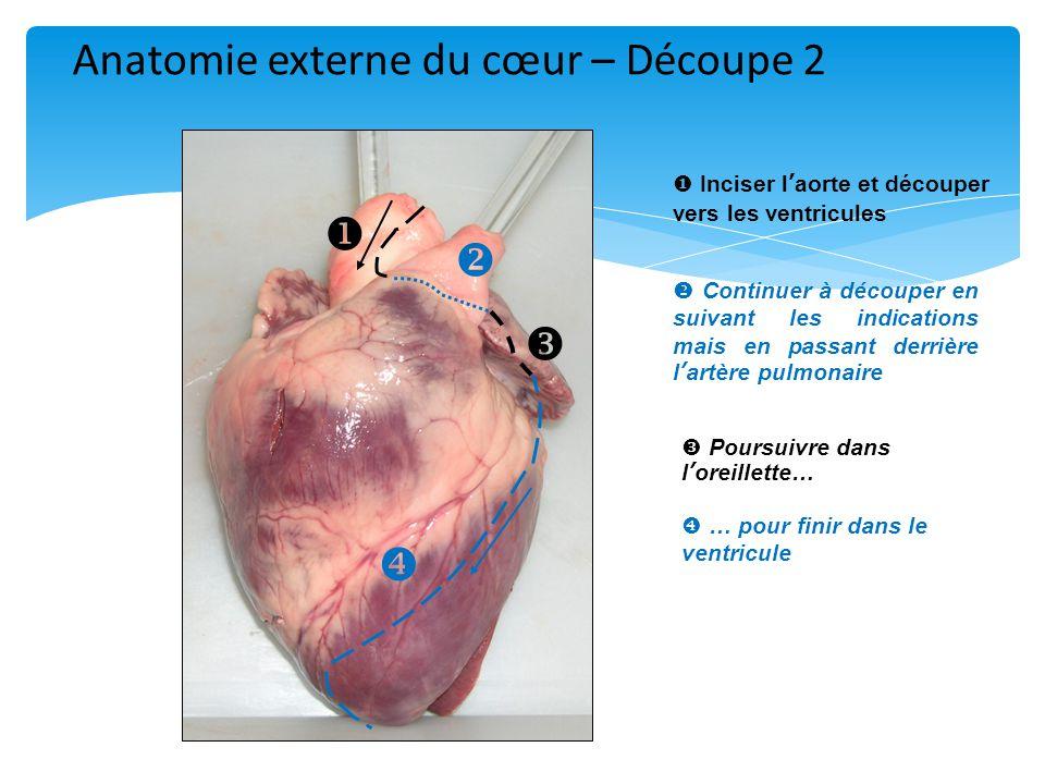      Inciser l'aorte et découper vers les ventricules  Continuer à découper en suivant les indications mais en passant derrière l'artère pulmonaire  Poursuivre dans l'oreillette…  … pour finir dans le ventricule Anatomie externe du cœur – Découpe 2