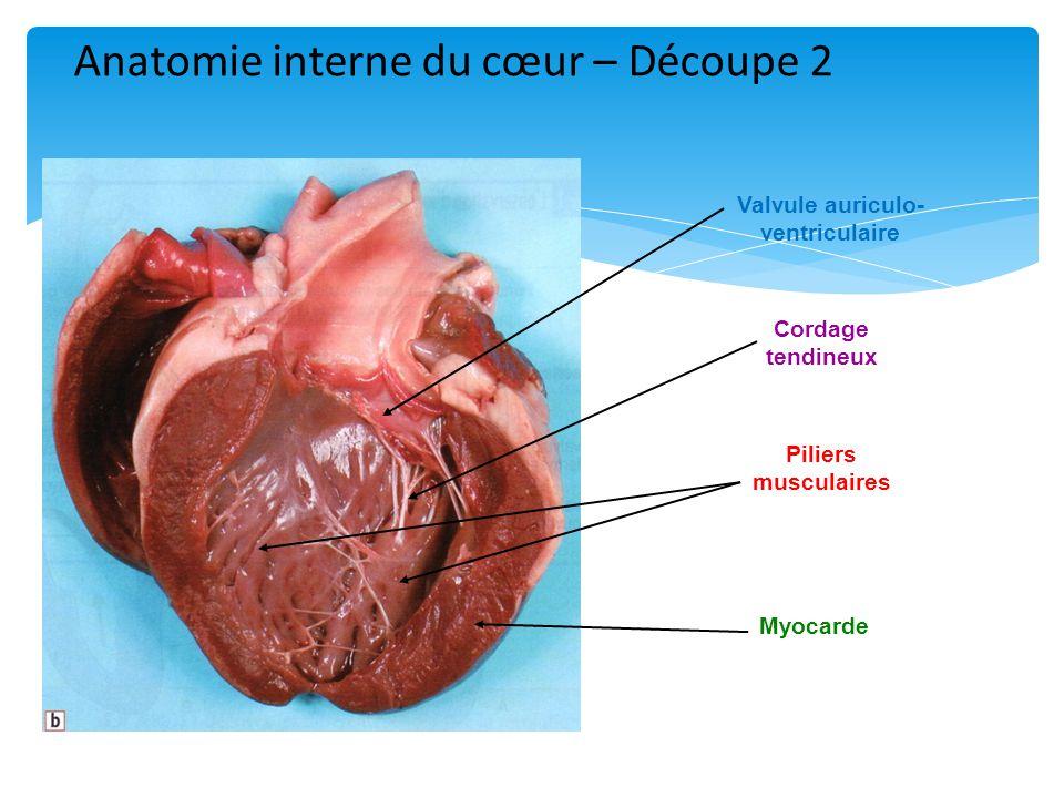 Valvule auriculo- ventriculaire Cordage tendineux Piliers musculaires Myocarde Anatomie interne du cœur – Découpe 2