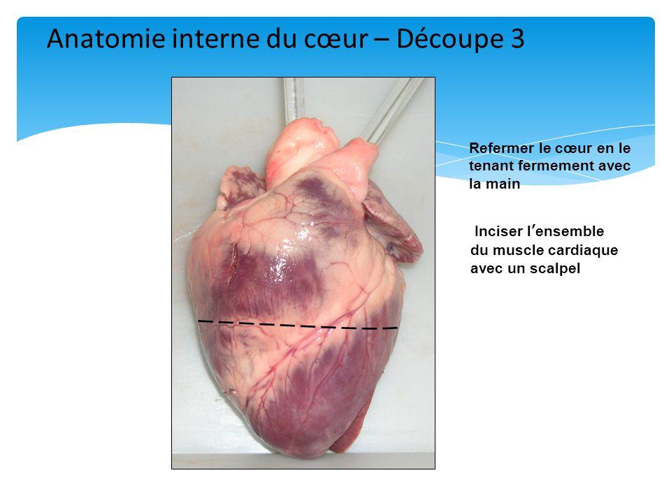 Refermer le cœur en le tenant fermement avec la main Inciser l'ensemble du muscle cardiaque avec un scalpel Anatomie interne du cœur – Découpe 3