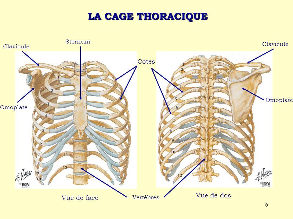 6 LA CAGE THORACIQUE Vue de face Sternum Clavicule Omoplate Vertèbres Omoplate Clavicule Côtes Vue de dos