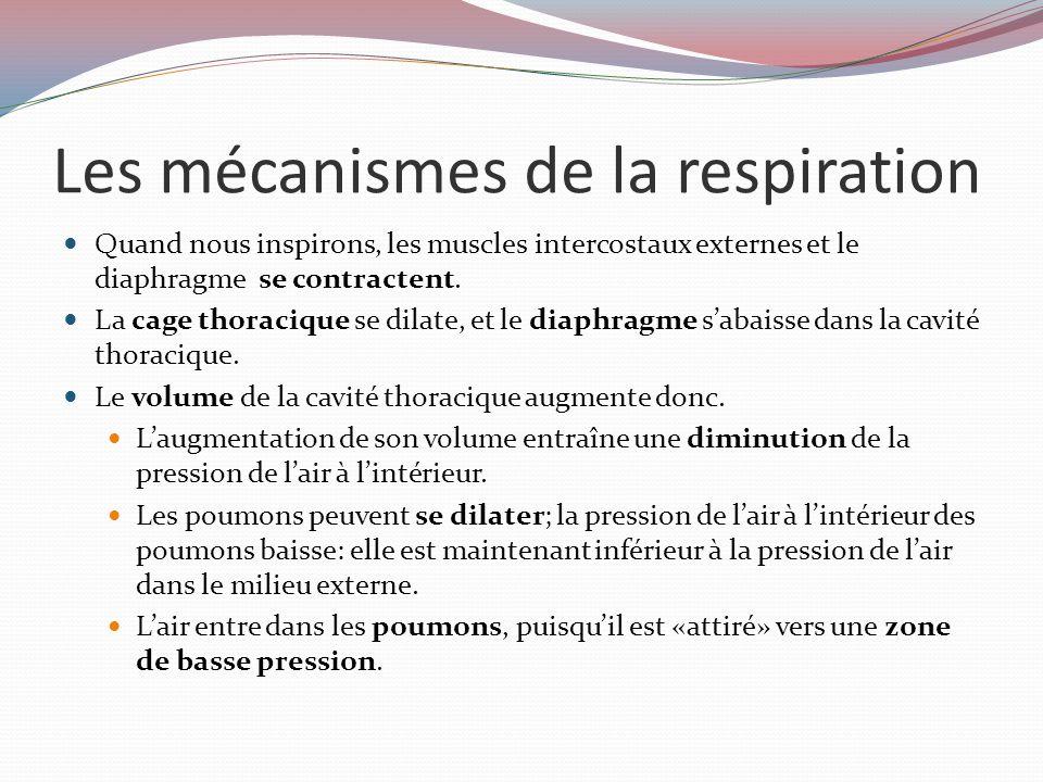 Les mécanismes de la respiration Quand nous inspirons, les muscles intercostaux externes et le diaphragme se contractent.