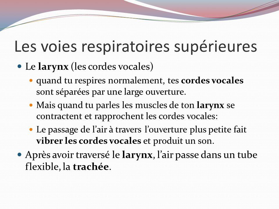 Les voies respiratoires supérieures Le larynx (les cordes vocales) quand tu respires normalement, tes cordes vocales sont séparées par une large ouverture.