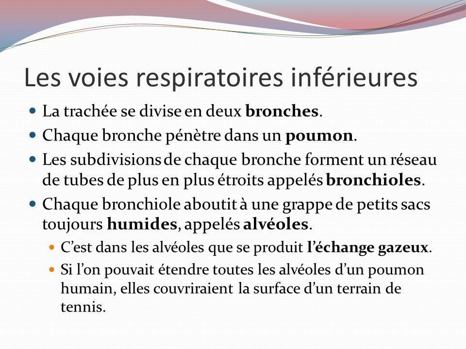 Les voies respiratoires inférieures La paroi des alvéoles n'a qu'une cellule d'épaisseur et est adjacent à une réseau de capillaires.