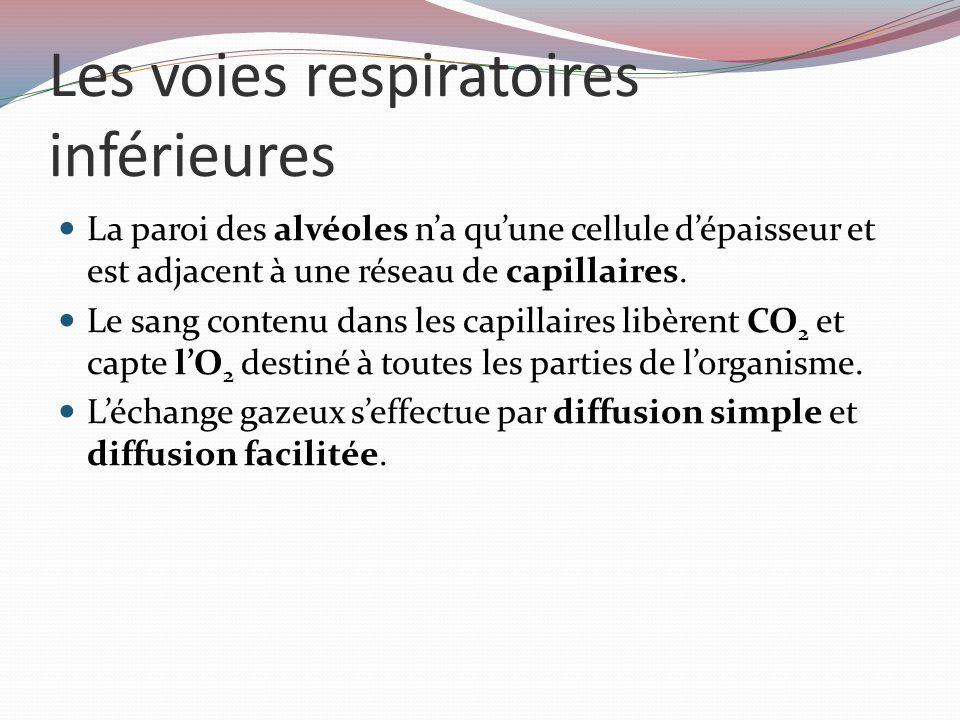 Les voies respiratoires inférieures Chaque poumon est divisé en lobes: trois pour le droit et deux pour le gauche (pour laisser un espace pour le cœur) Un lobe est composé de lobules qui comprennent chacun une bronchiole.