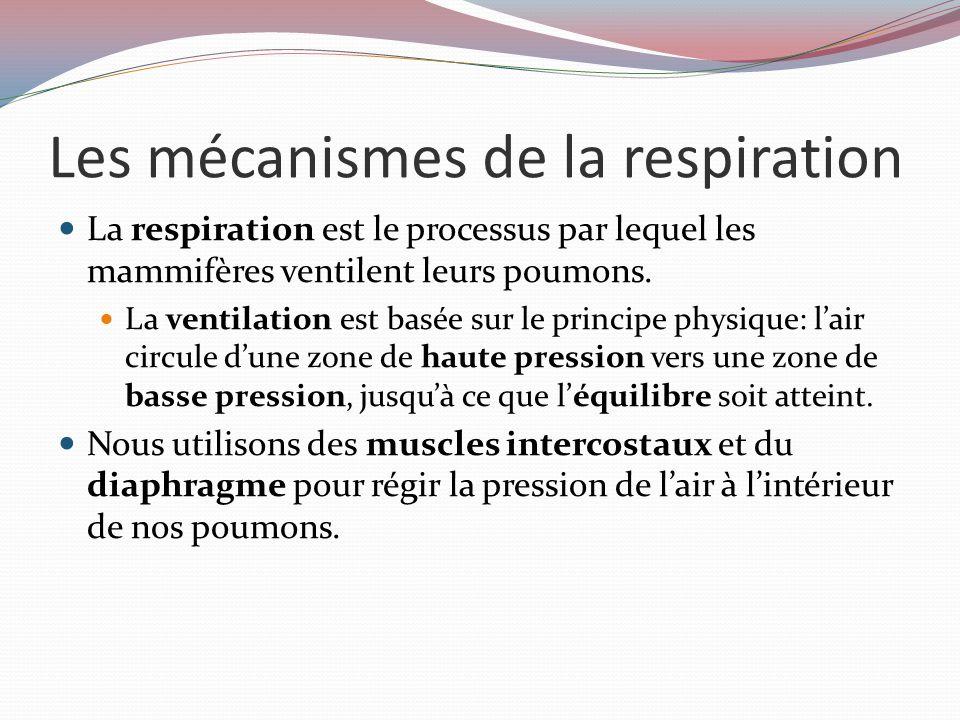 Les mécanismes de la respiration La respiration est le processus par lequel les mammifères ventilent leurs poumons.