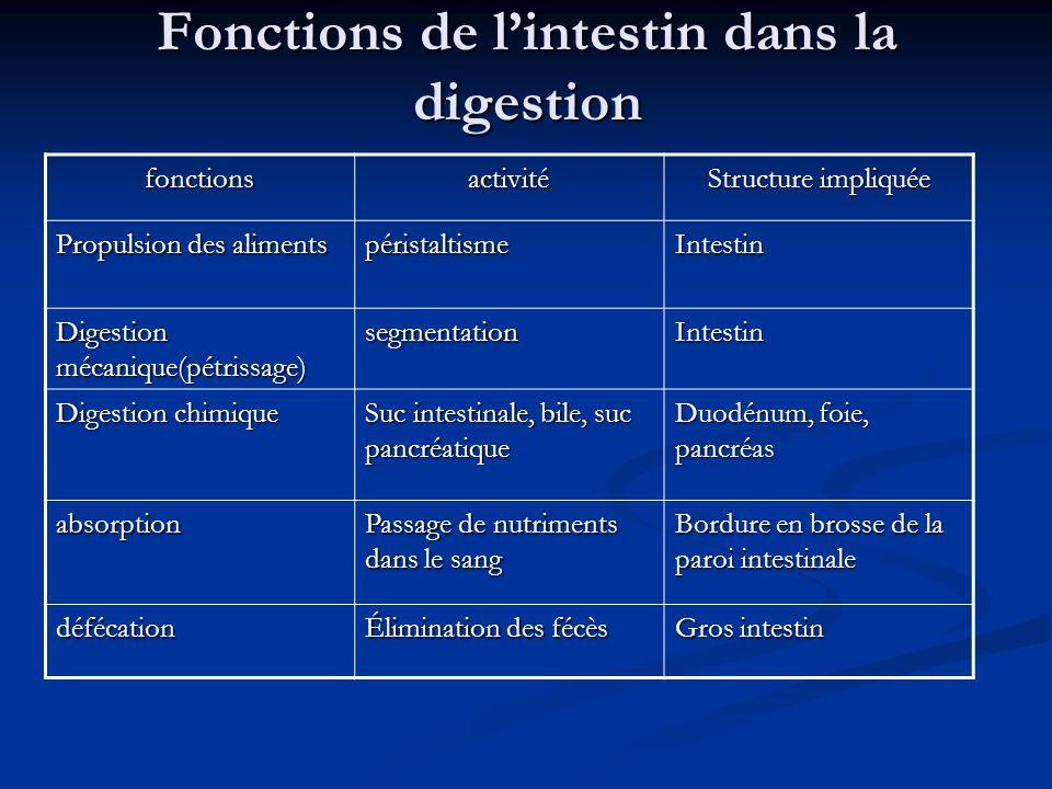 Fonctions de l'intestin dans la digestion fonctionsactivité Structure impliquée Propulsion des aliments péristaltismeIntestin Digestion mécanique(pétr