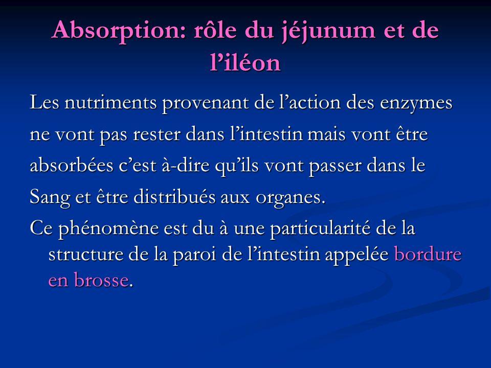 Absorption: rôle du jéjunum et de l'iléon Les nutriments provenant de l'action des enzymes ne vont pas rester dans l'intestin mais vont être absorbées