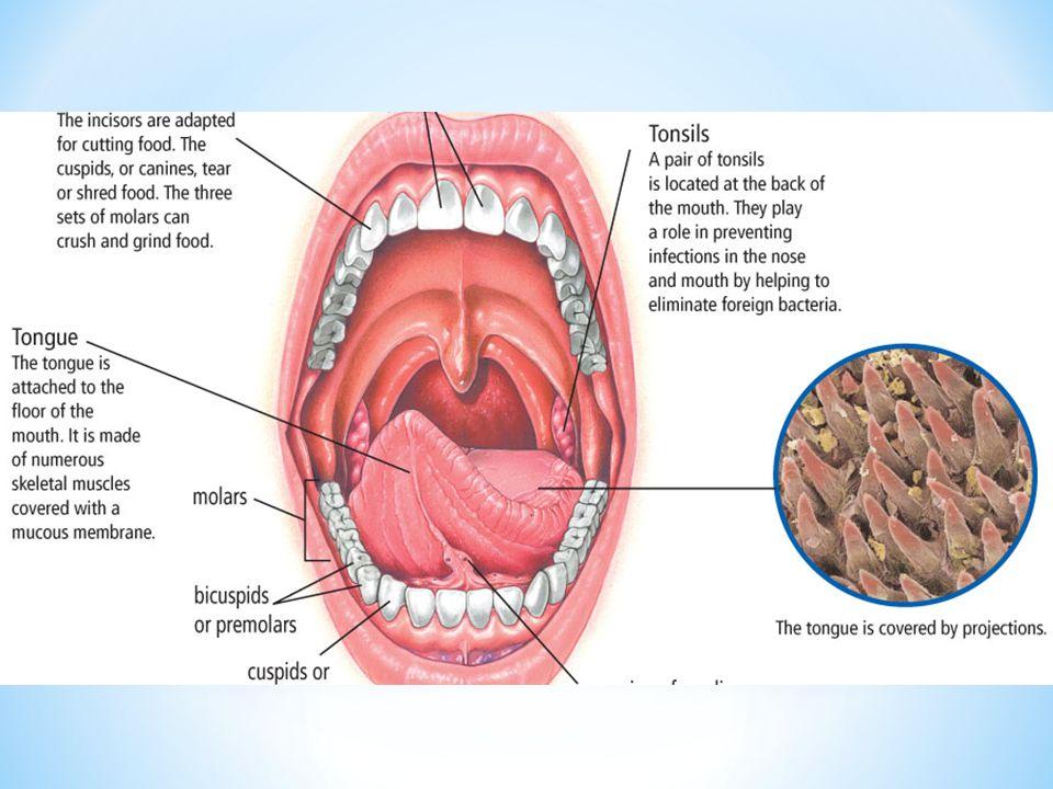 Digestion chimique * se fait lorsque l'amylase commence à décomposer le bol alimentaire en dégradant les glucides complexes en glucides simples