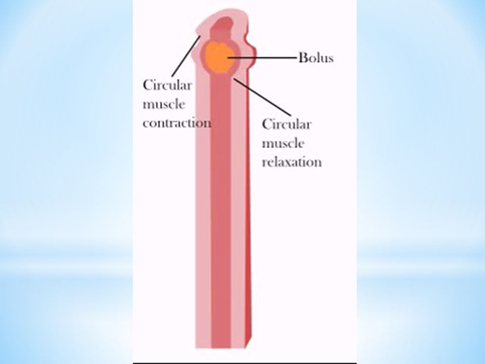* un sac musculaire qui s'étire(capacité d'environ 2L) * contient le suc gastrique  acide chlorhydrique, mucus et enzymes * enzyme  pepsine  besoin d'un environnement acide pour fonctionner * Le bol alimentaire est dégradé en un liquide nommé chyme