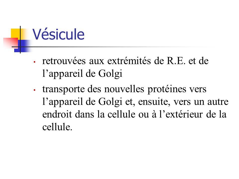 Vésicule retrouvées aux extrémités de R.E.