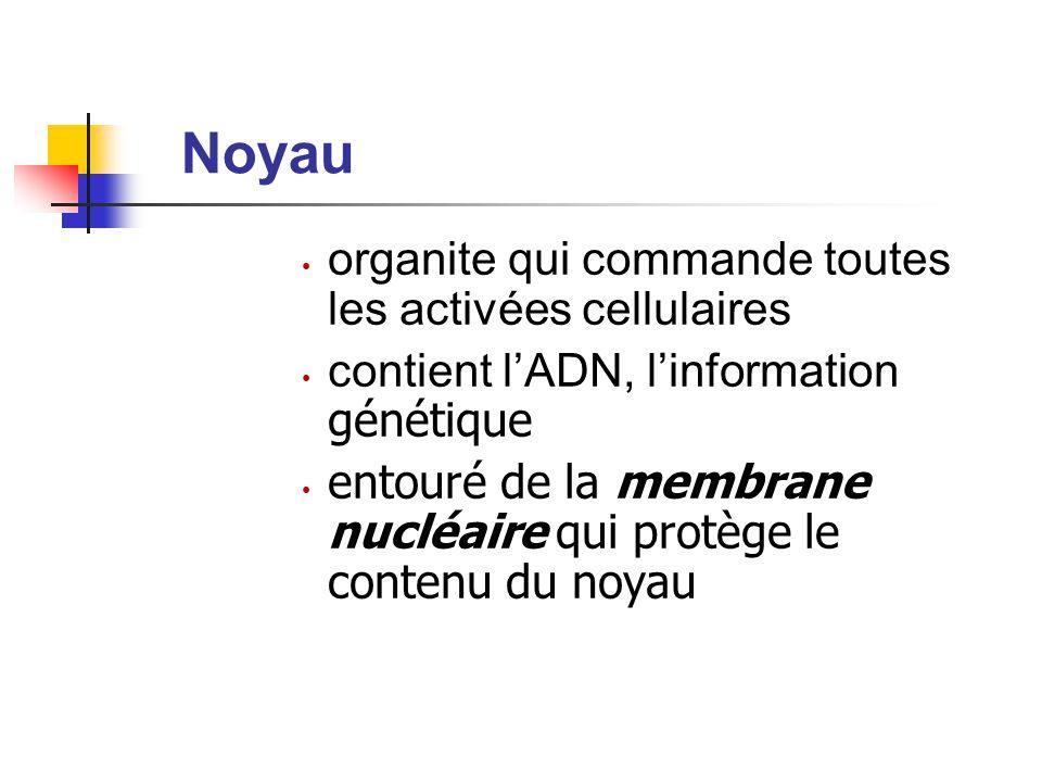 Noyau organite qui commande toutes les activées cellulaires contient l'ADN, l'information génétique entouré de la membrane nucléaire qui protège le contenu du noyau