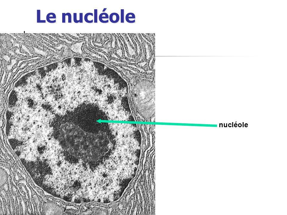 Le nucléole nucléole
