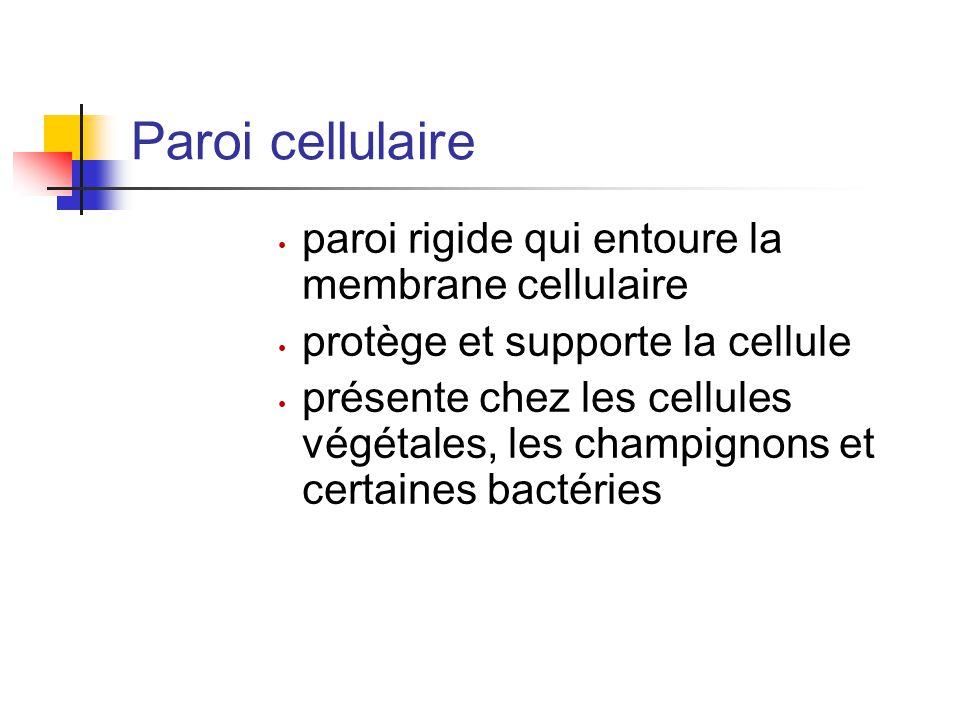 Paroi cellulaire paroi rigide qui entoure la membrane cellulaire protège et supporte la cellule présente chez les cellules végétales, les champignons et certaines bactéries