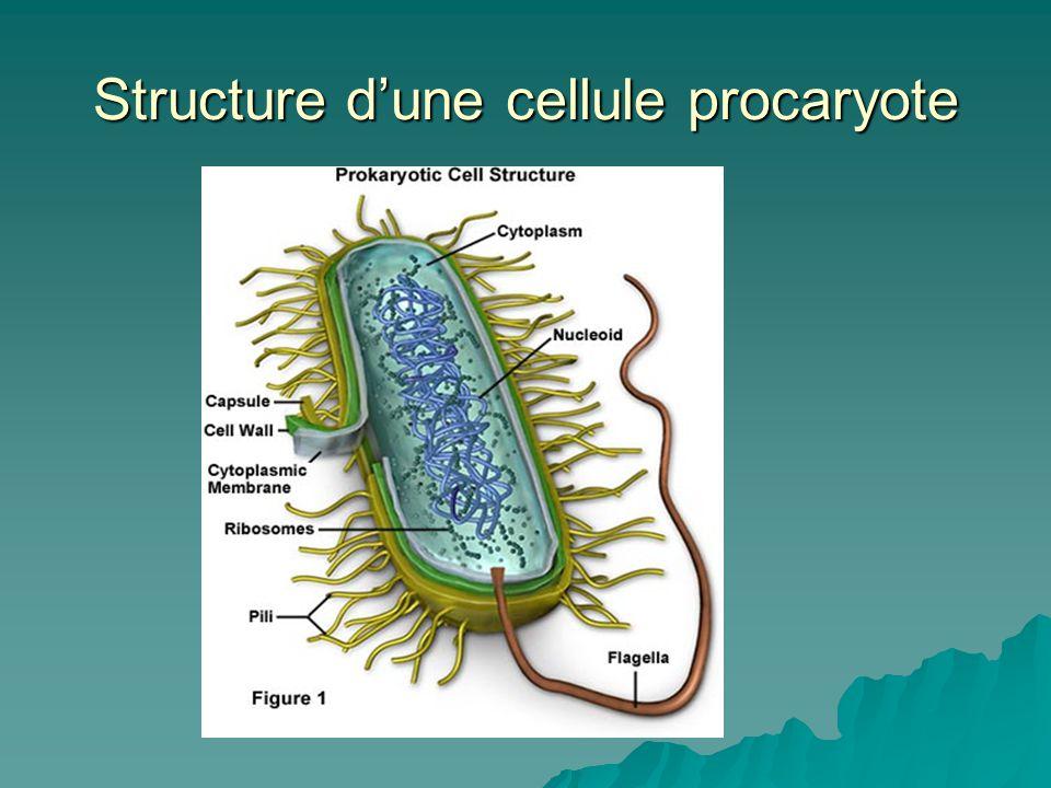 Groupe majeur : Les schizophytes (bactéries)  Formes :  bacille (forme de bâtonnet)  coque (sphérique)  spirille (spiralée)