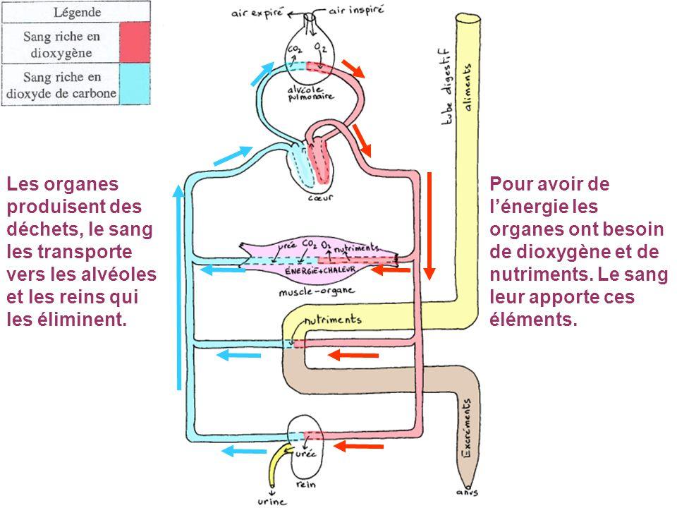 Pour avoir de l'énergie les organes ont besoin de dioxygène et de nutriments. Le sang leur apporte ces éléments. Les organes produisent des déchets, l