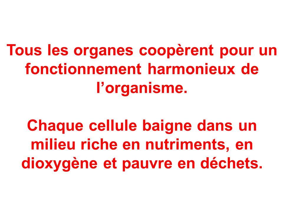Tous les organes coopèrent pour un fonctionnement harmonieux de l'organisme. Chaque cellule baigne dans un milieu riche en nutriments, en dioxygène et