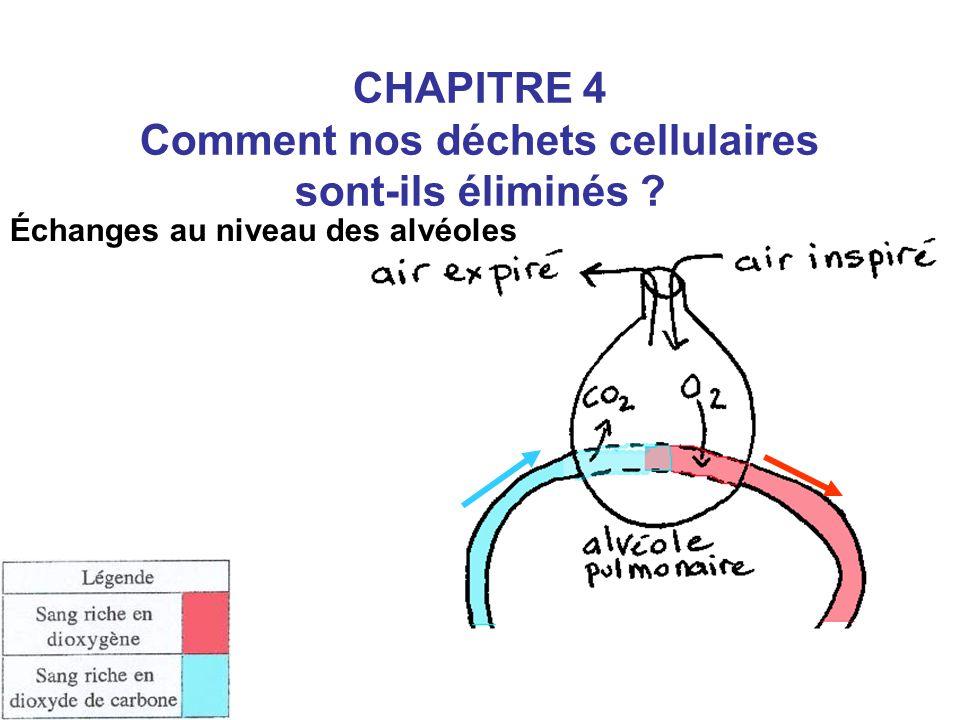 Échanges au niveau des reins CHAPITRE 4 Comment nos déchets cellulaires sont-ils éliminés ?