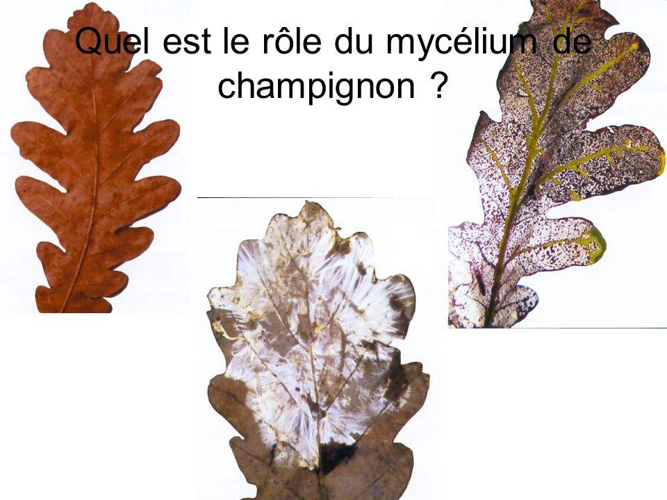 Quel est le rôle du mycélium de champignon ?