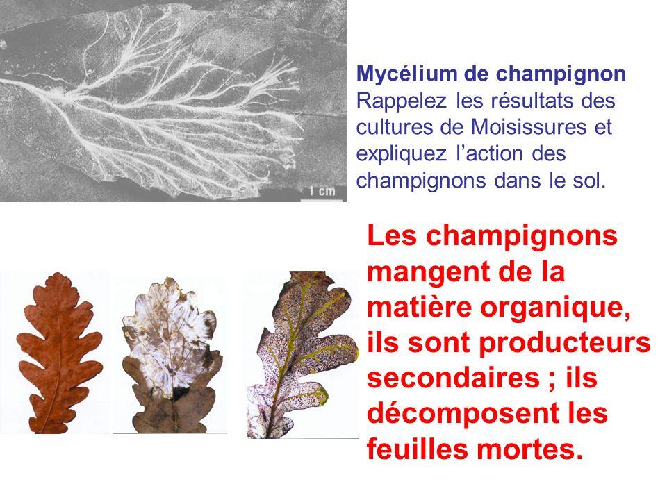 Mycélium de champignon Rappelez les résultats des cultures de Moisissures et expliquez l'action des champignons dans le sol.