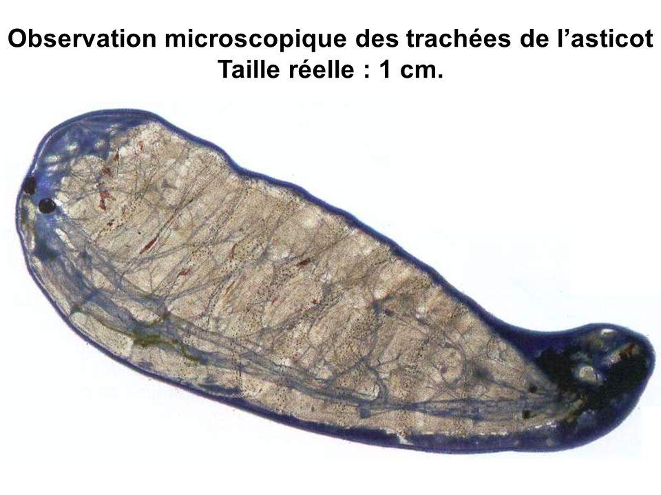 Observation microscopique des trachées de l'asticot Taille réelle : 1 cm.
