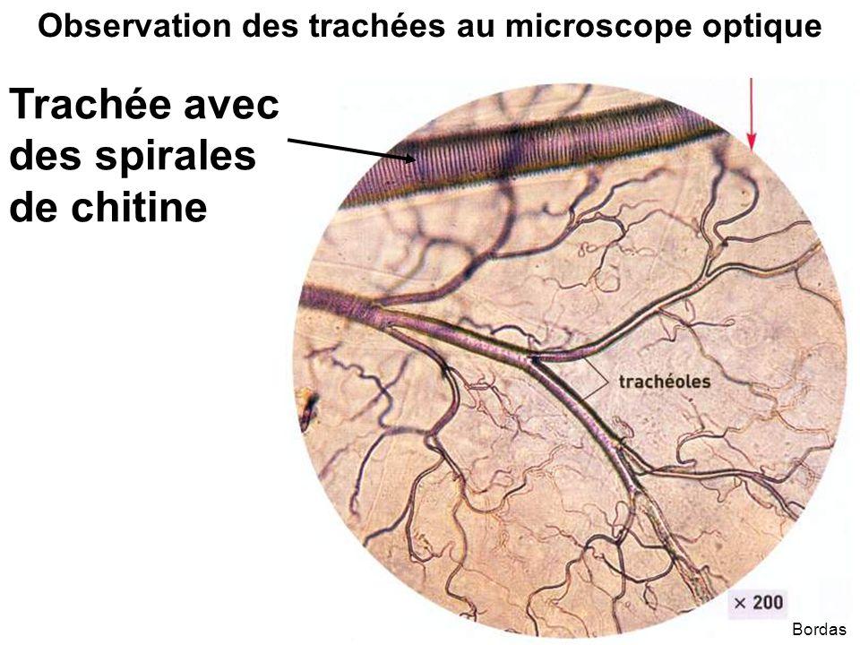 Bordas Observation des trachées au microscope optique Trachée avec des spirales de chitine