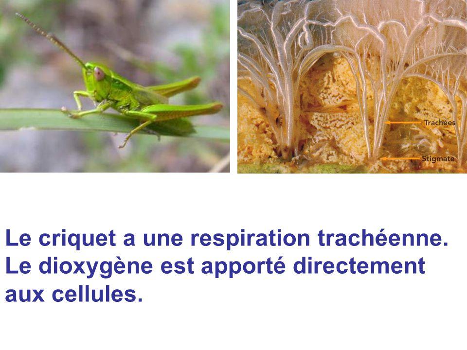 Le criquet a une respiration trachéenne. Le dioxygène est apporté directement aux cellules.