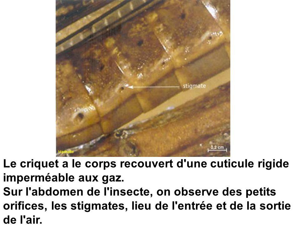 Le criquet a le corps recouvert d'une cuticule rigide imperméable aux gaz. Sur l'abdomen de l'insecte, on observe des petits orifices, les stigmates,